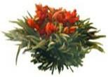 Osmanthus Blossom